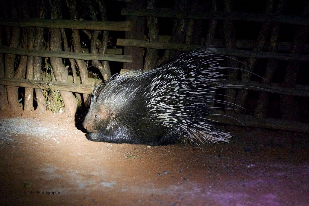 Porcupine - Stachelschwein